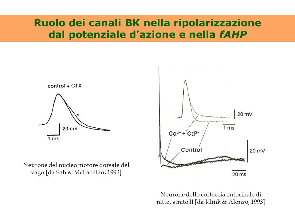 Neurone del nucleo motore dorsale del vago [da Sah & McLachlan, 1992]